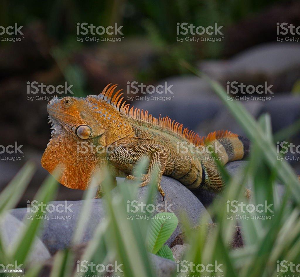 Iguana Orange stock photo