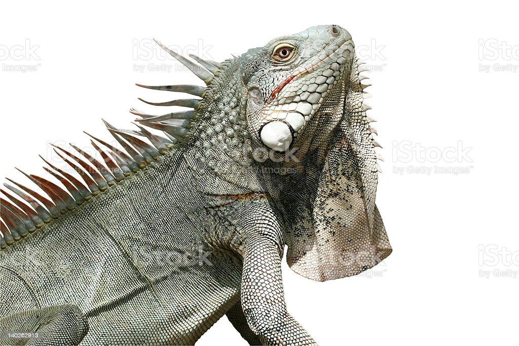 Iguana (isolated) stock photo