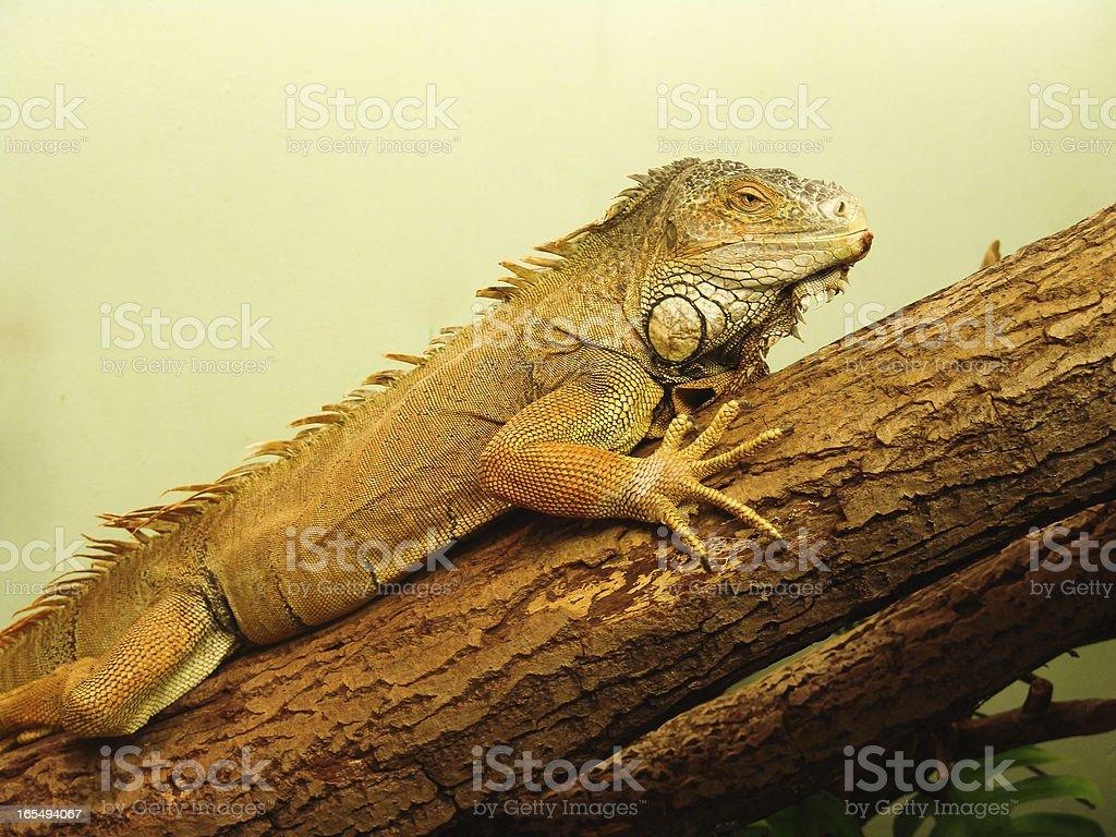 Iguana foto de stock libre de derechos