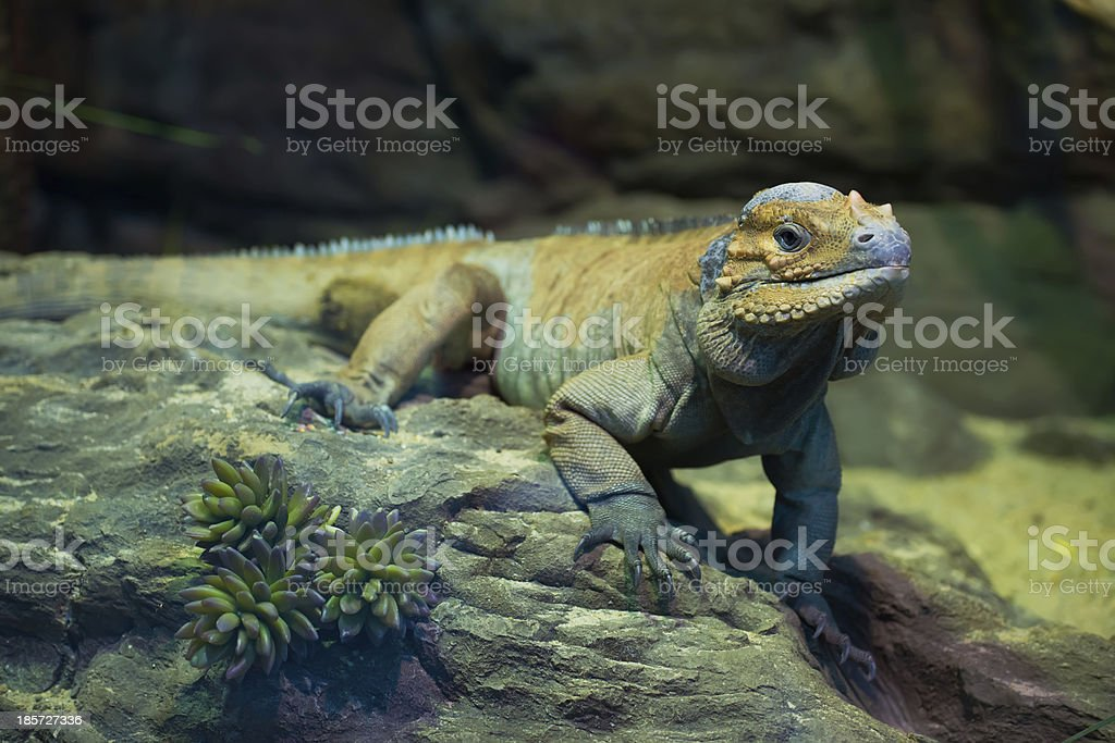 Leguan royalty-free stock photo
