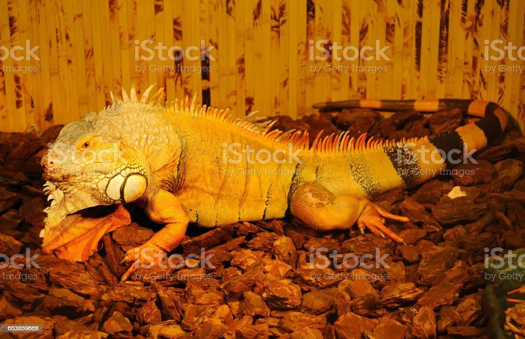 Iguana. stock photo