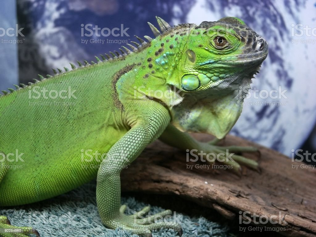 Iguana royalty-free stock photo