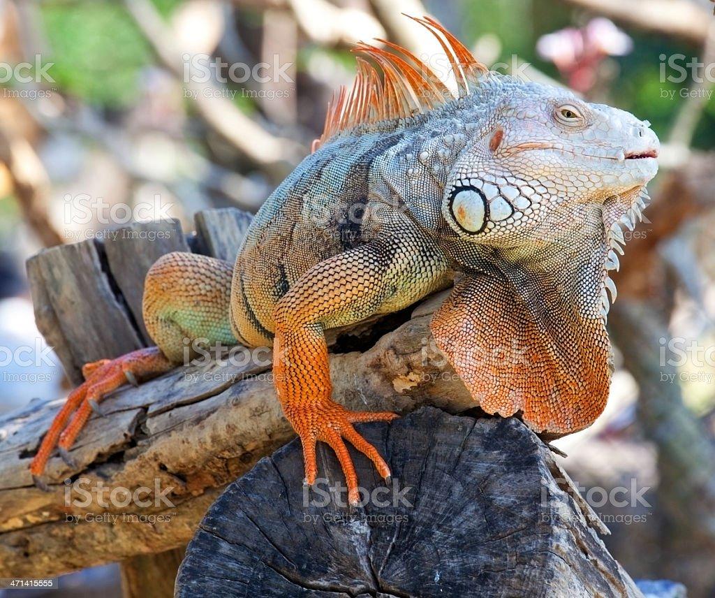 iguana reptile sitting royalty-free stock photo
