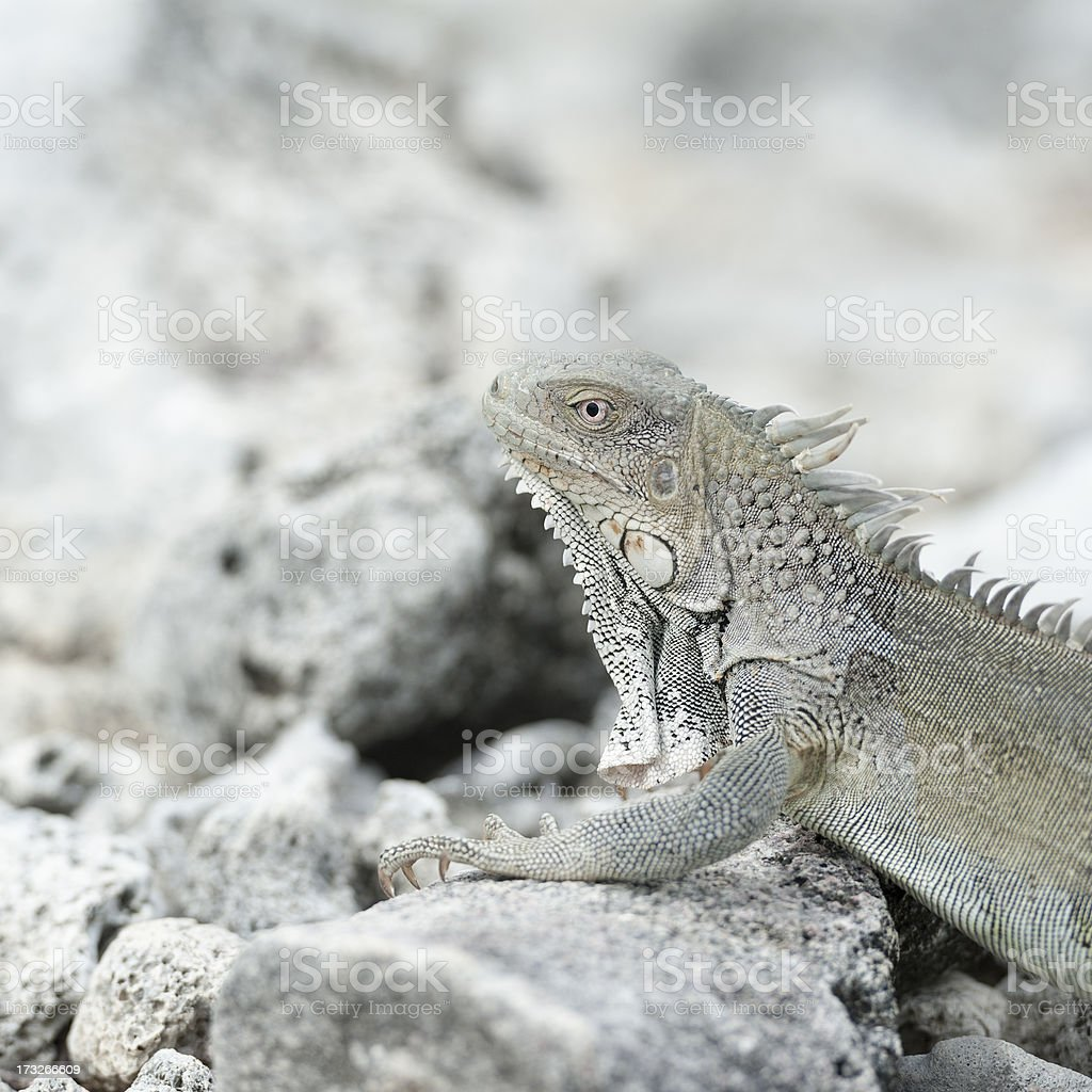 iguana sitting on rocks royalty-free stock photo