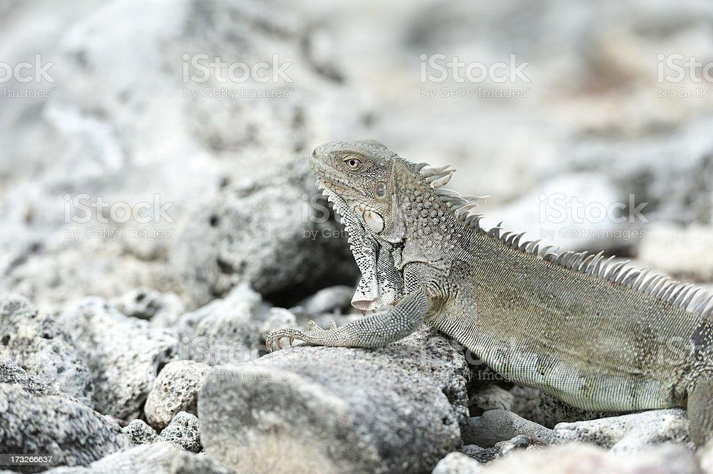 iguana sitting on rocks royalty-free stock photo
