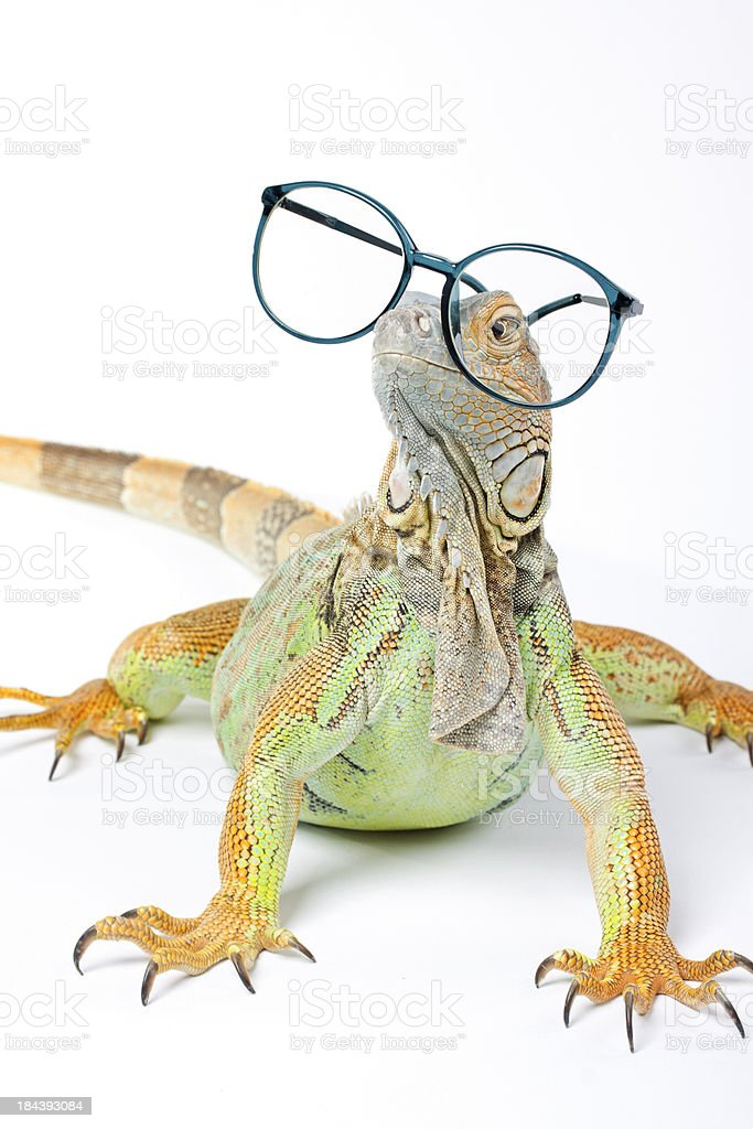 Iguana with Glasses royalty-free stock photo