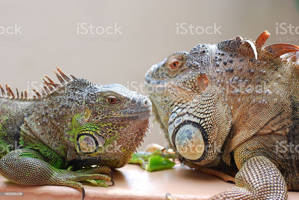 Iguanas royalty-free stock photo