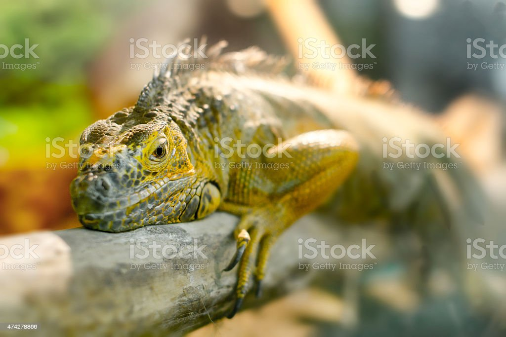 iguanas who sleeps on a thick branch stock photo