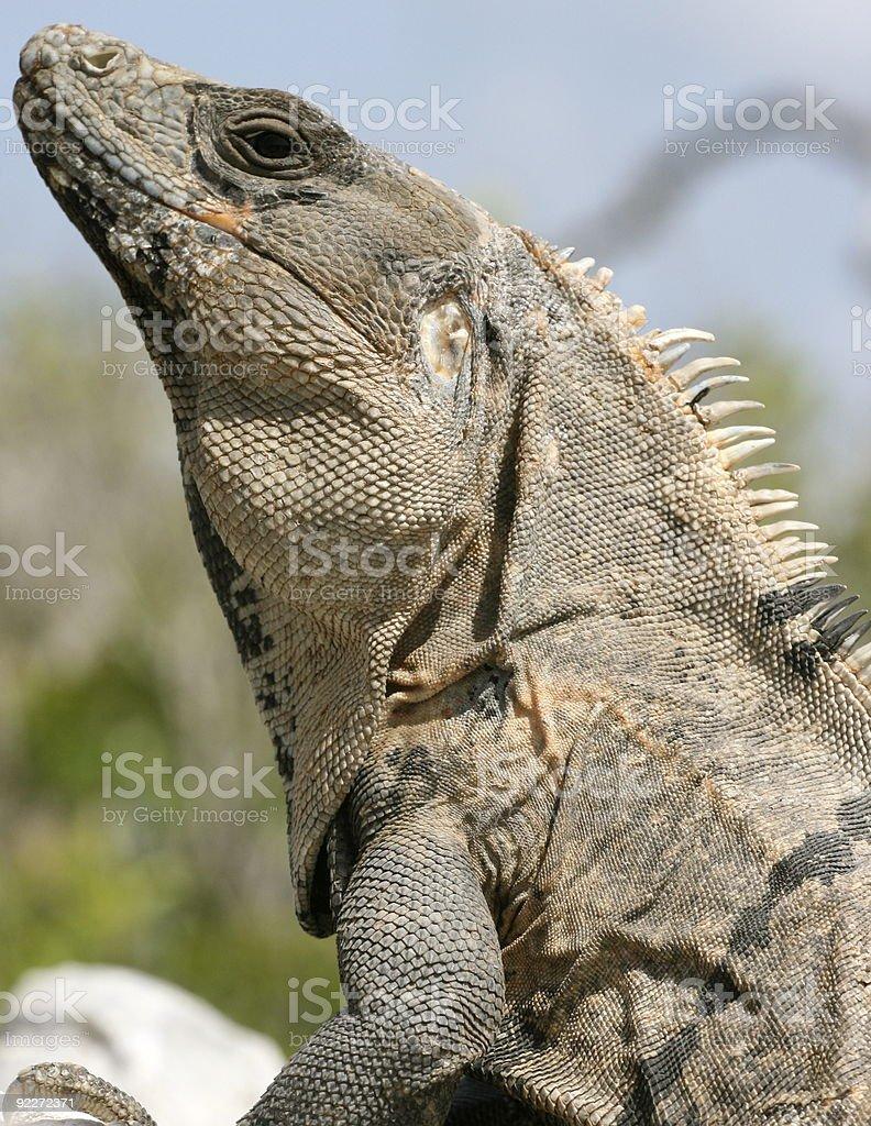 Iguane au Mexique stock photo