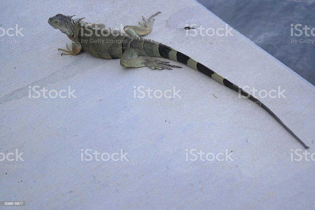 Iguane près de piscine photo libre de droits