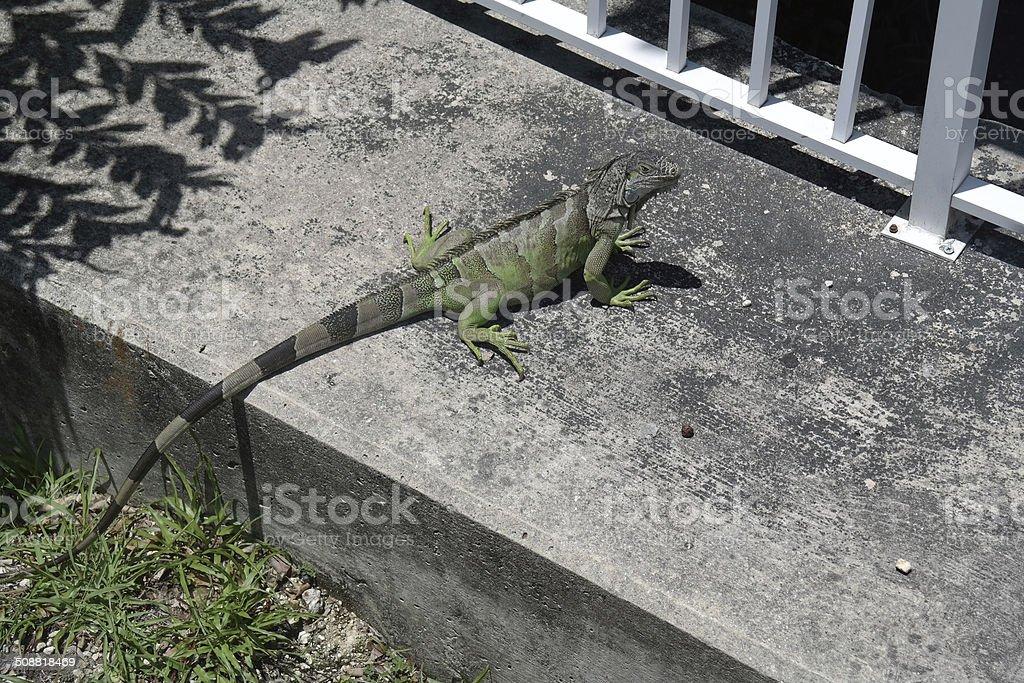 Iguane sur margelle photo libre de droits