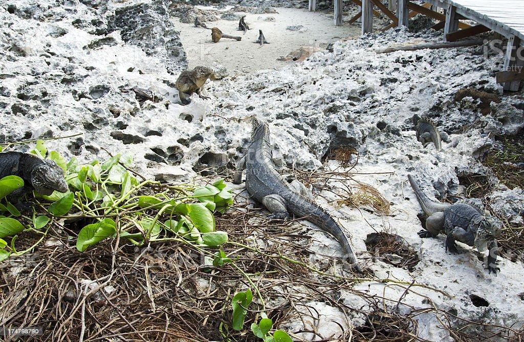 Iguans island royalty-free stock photo