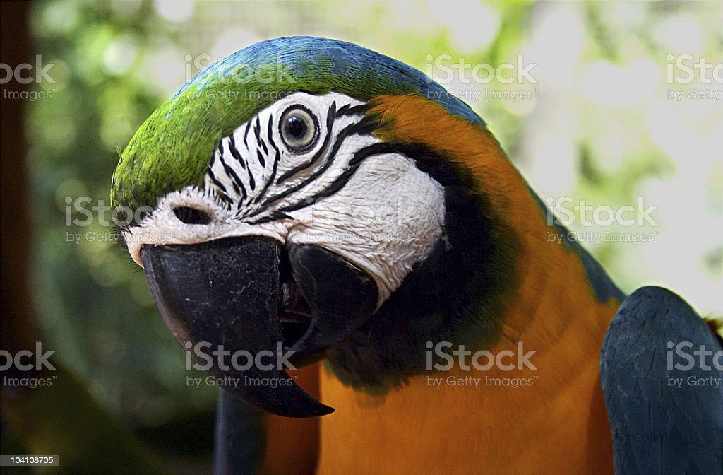 Iguazu Parrot stock photo