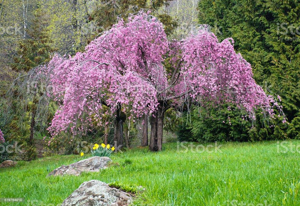 il ciliegio giapponese stock photo
