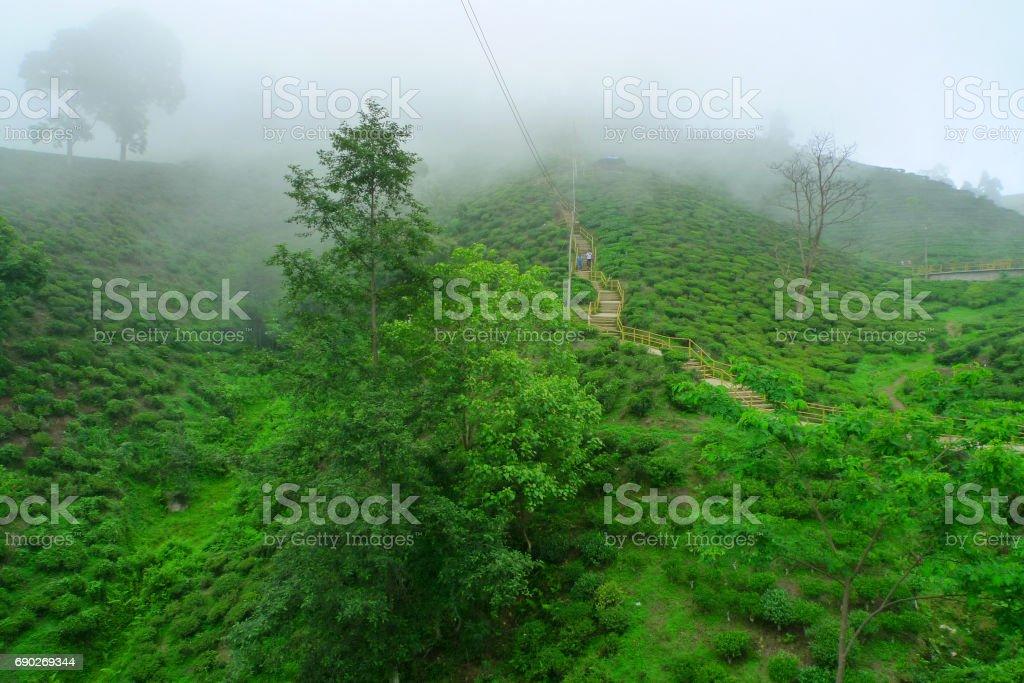 Ilam tea garden, Nepal stock photo