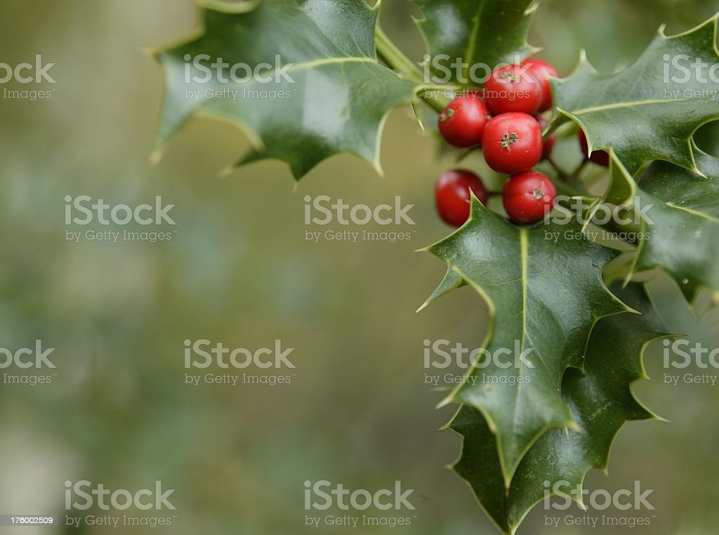 Ilex aquifolium stock photo
