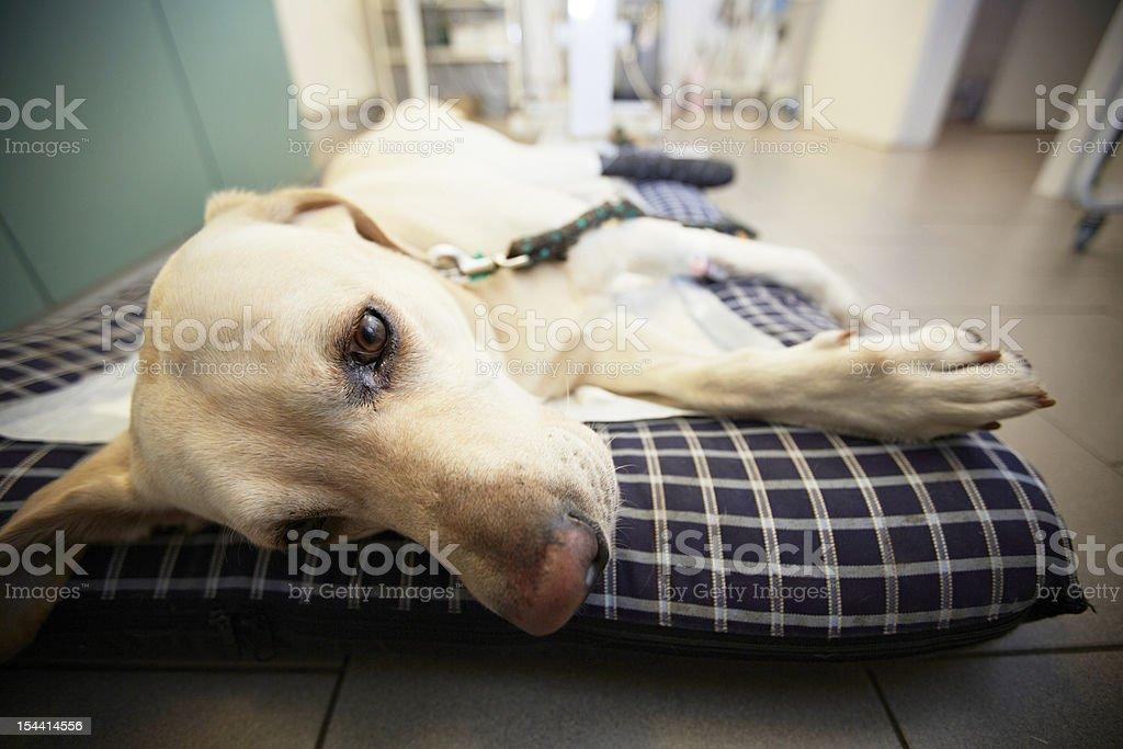 Ill dog royalty-free stock photo