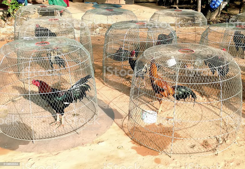 Illegal Fight cocks in the cells in Thai village stock photo