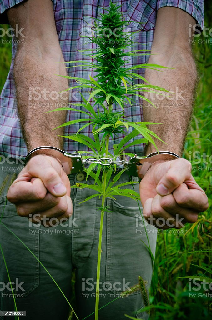 Illicit cultivation of drugs stock photo