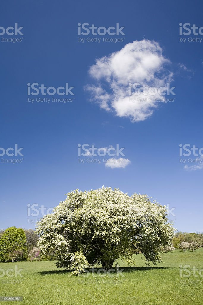 Illinois Springtime Tree royalty-free stock photo