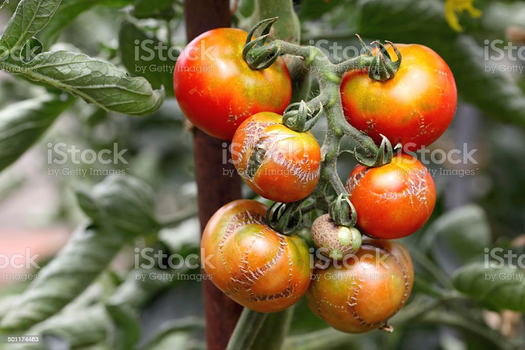 illness tomatoes royalty-free stock photo
