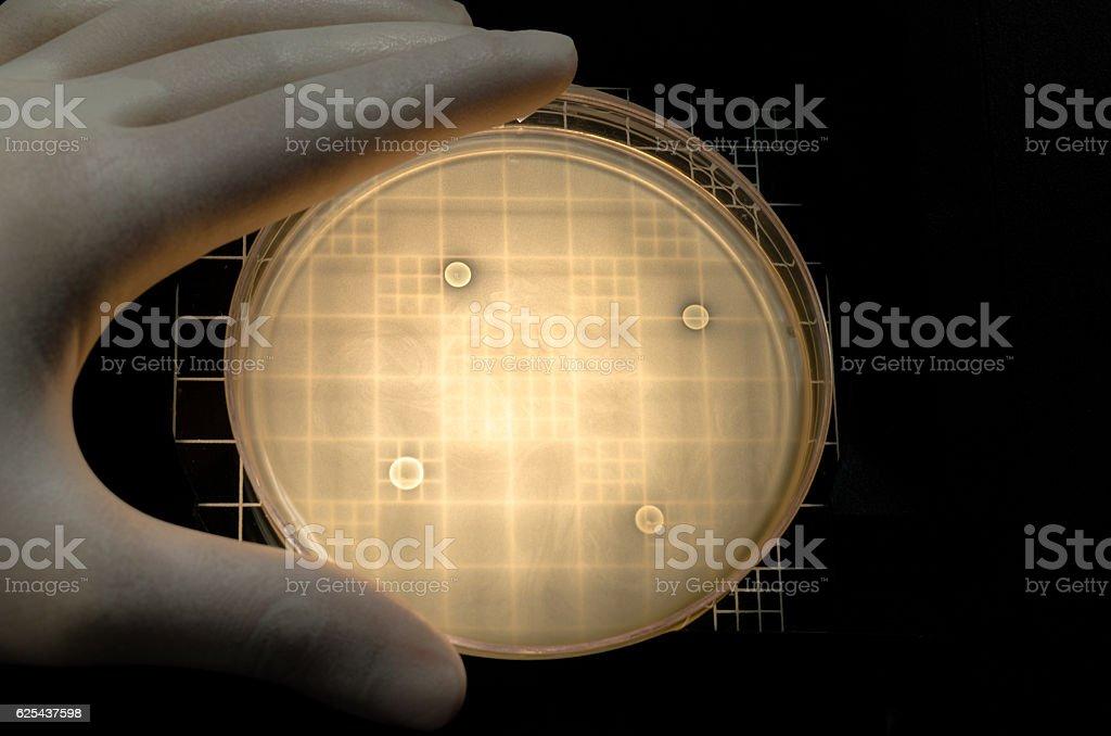 Illuminated bacteria growing in petri dish stock photo