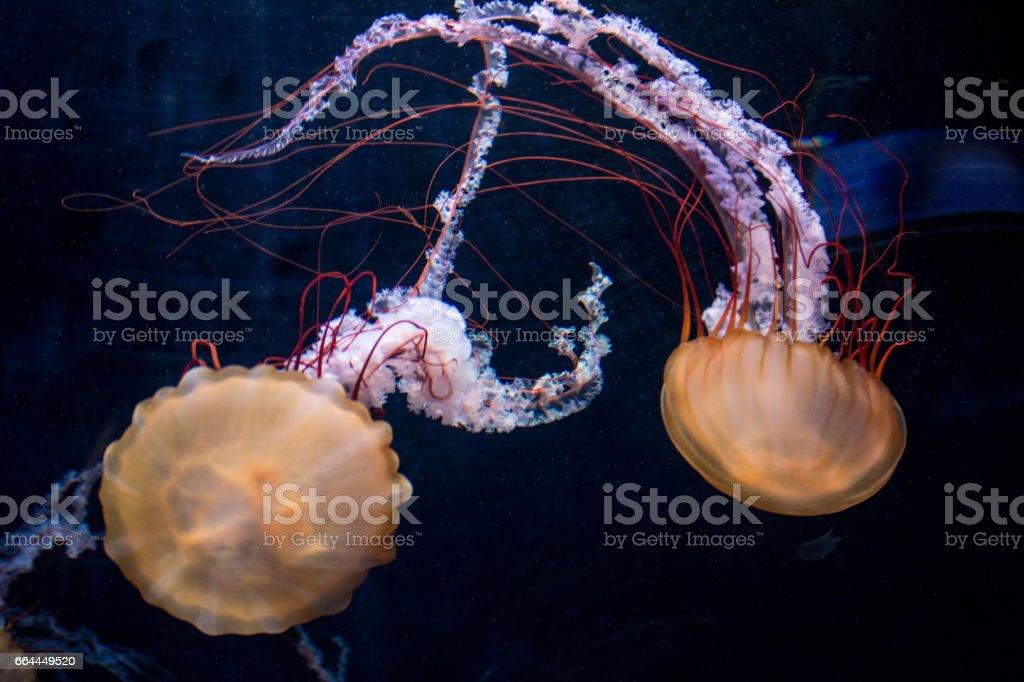 illuminated jellyfish on black background stock photo