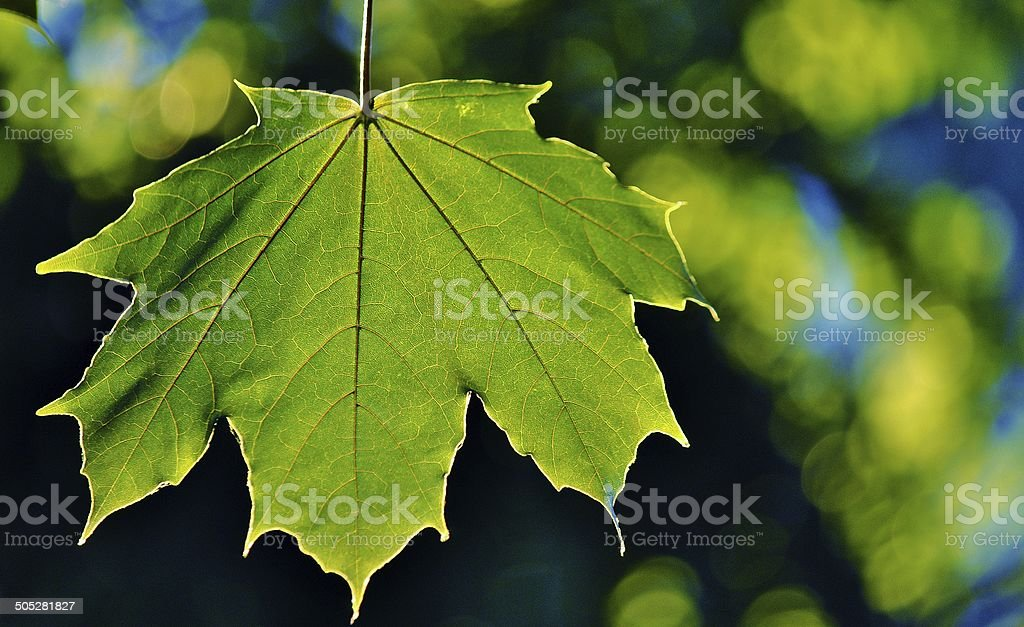 Illuminated Leaf - Maple stock photo