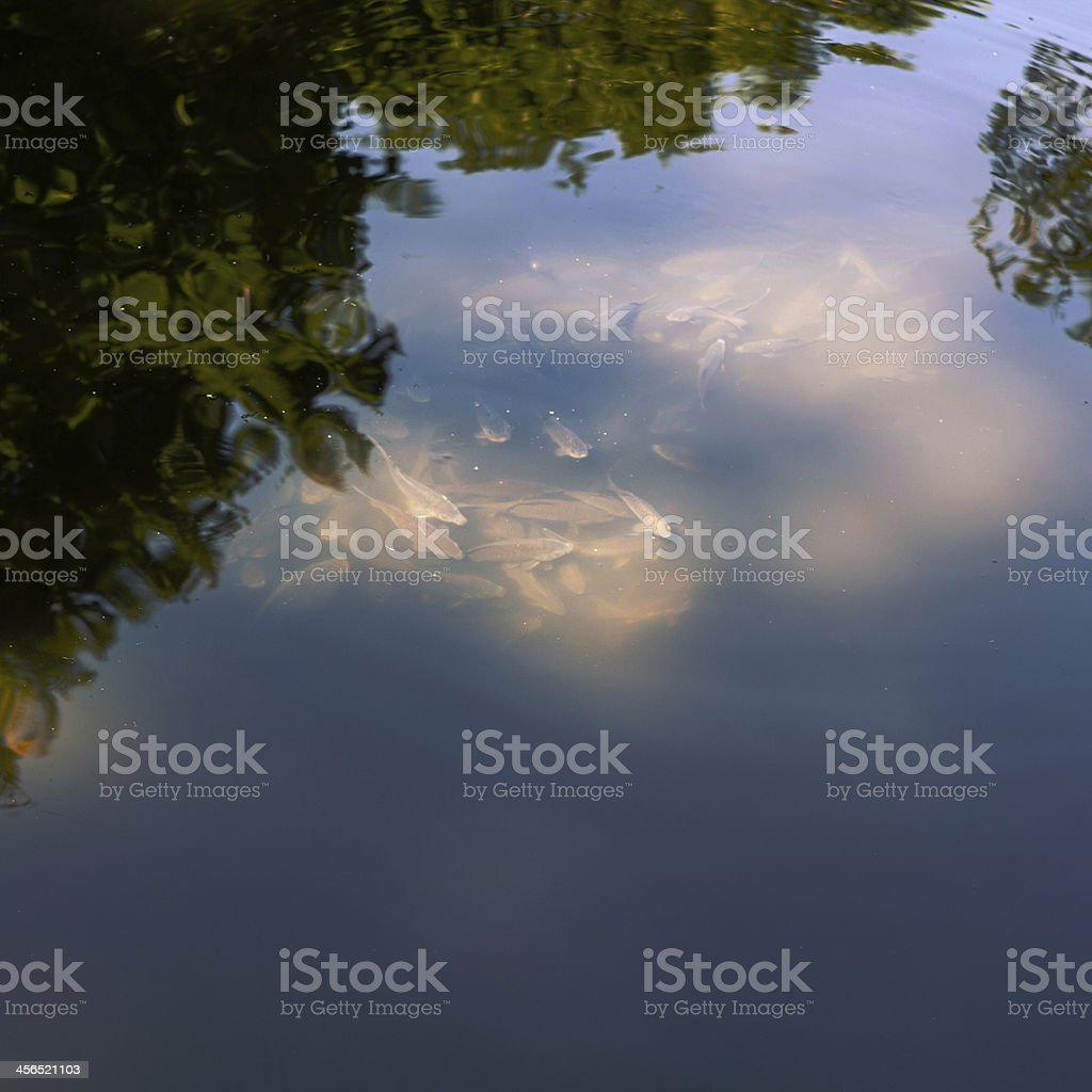 Illuminated pond revealing carp stock photo