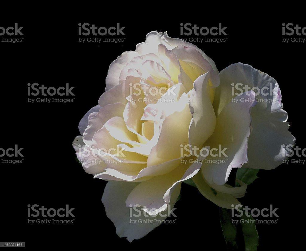 Illumined white rose on black background stock photo
