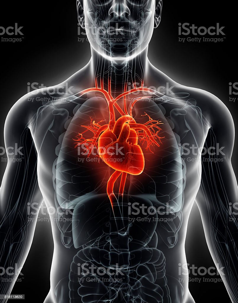 3D illustration Human Internal Organic - Human Heart. stock photo
