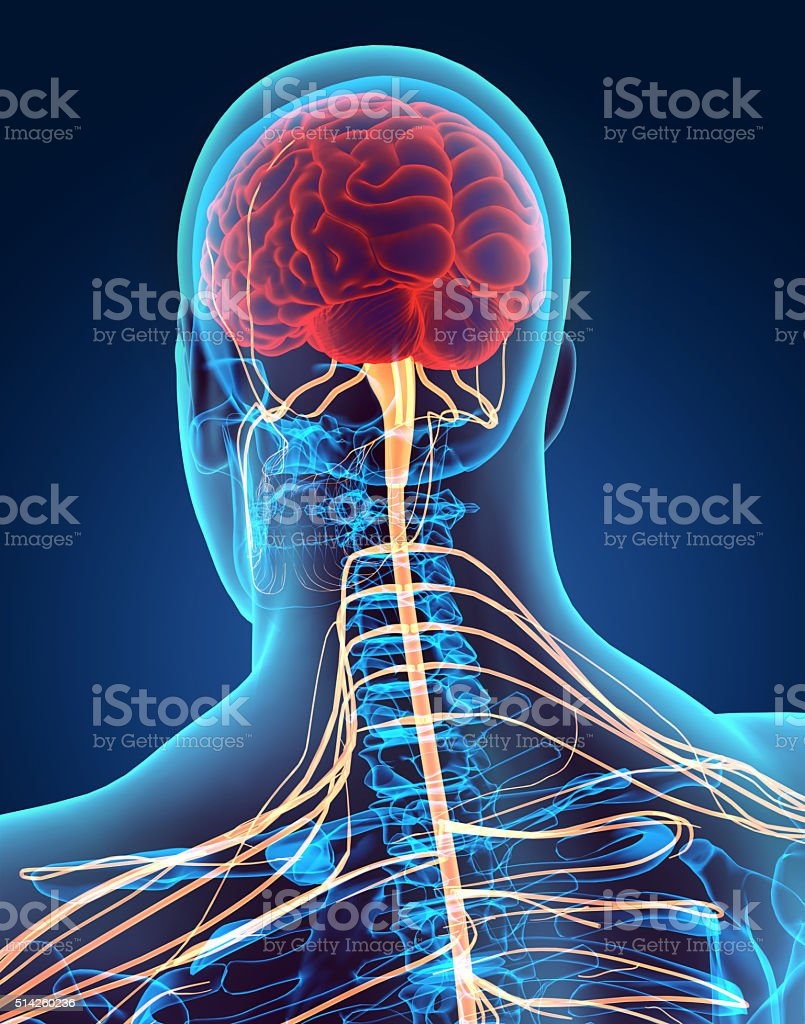 3D illustration male nervous system. stock photo