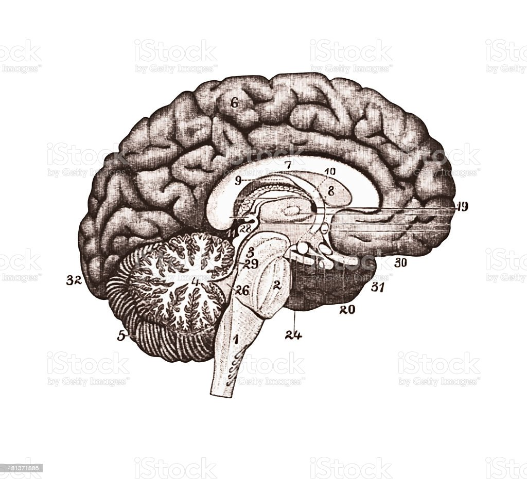 Illustration of brain sections. Brain Anatomy concept stock photo