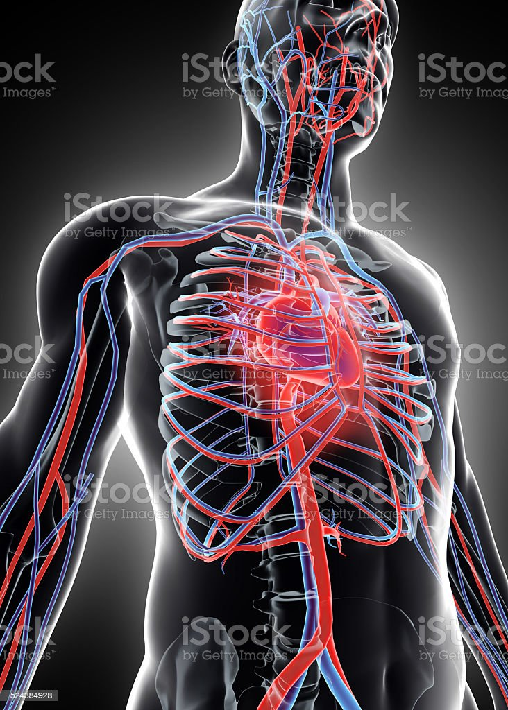 3D illustration of Human Internal System - Circulatory System. stock photo
