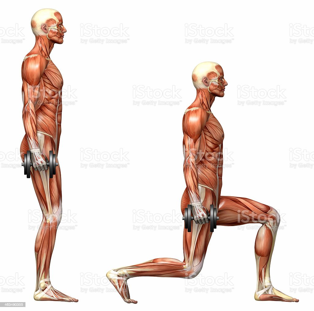 Illustration of human muscular system during dumbbell lunges royalty-free stock photo