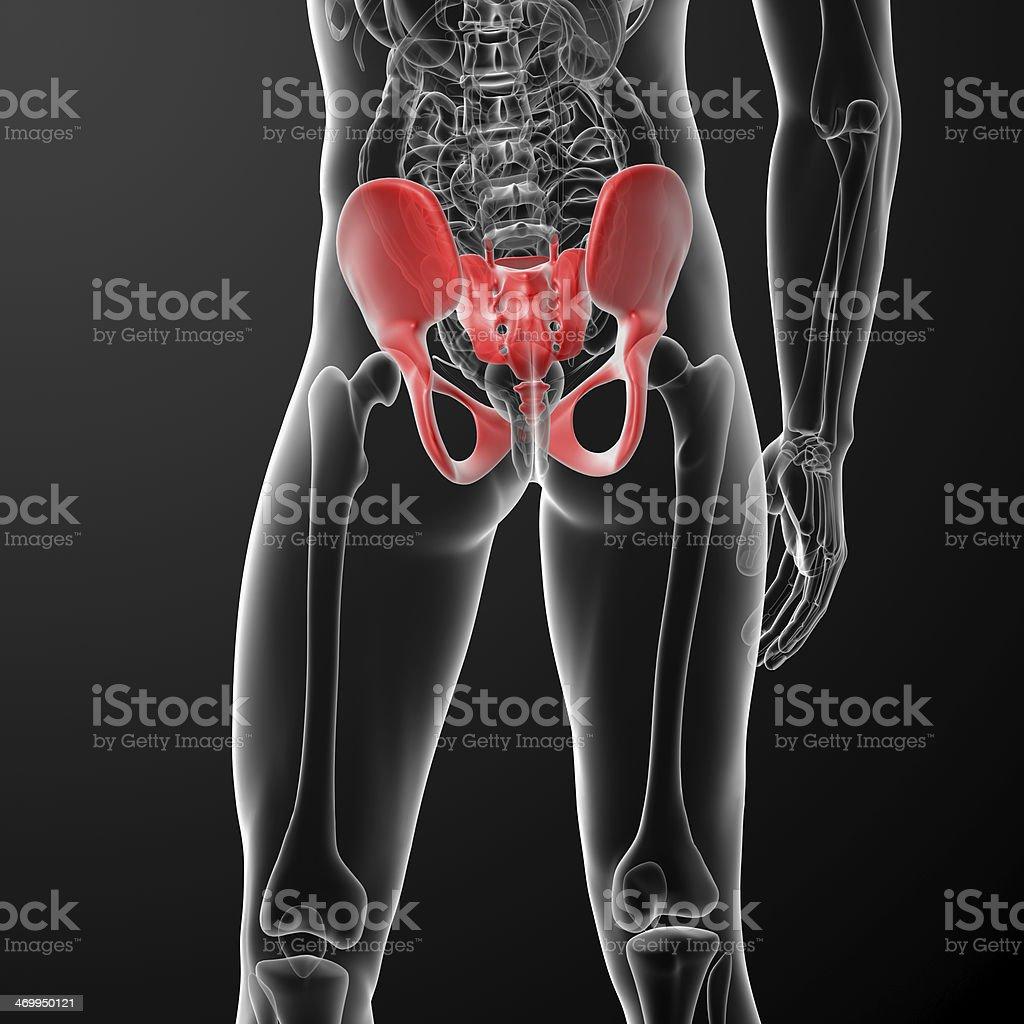 illustration of human pelvis royalty-free stock photo