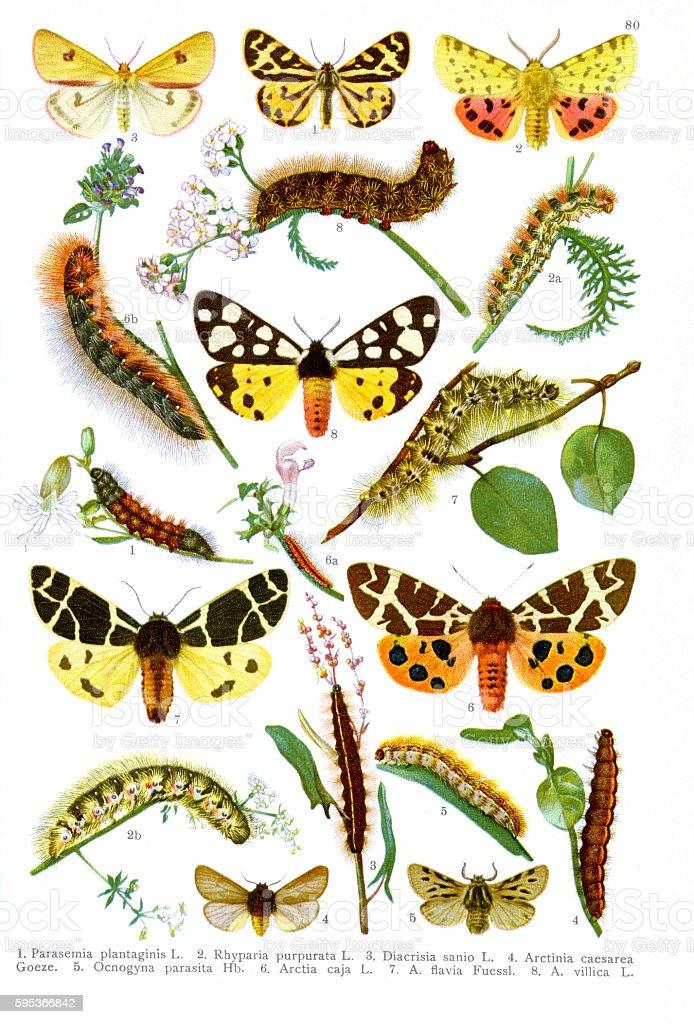 Illustration - Tiger moth (Arctia caja) and their relatives stock photo