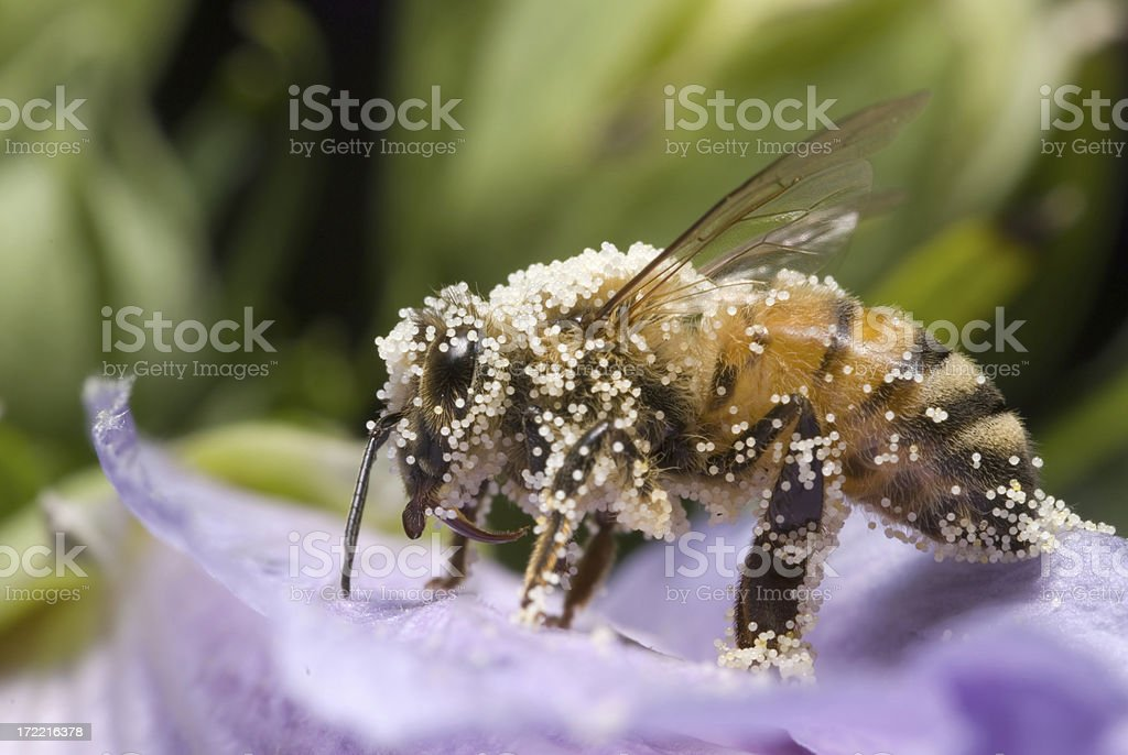 I...Love...Pollen royalty-free stock photo