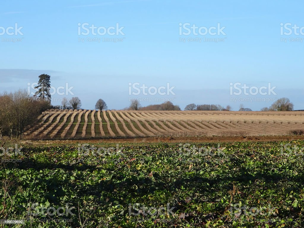 Image farm land growing beetroot (Beta vulgaris), blackcurrants (Ribes nigrum) stock photo