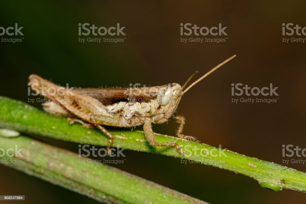 Image of a Brown grasshopper (Hieroglyphus banian) on nature background. Insect Animal stock photo