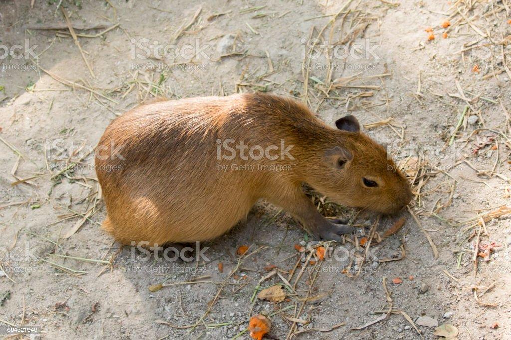 Image of a capybara on the ground. Wild Animals. stock photo