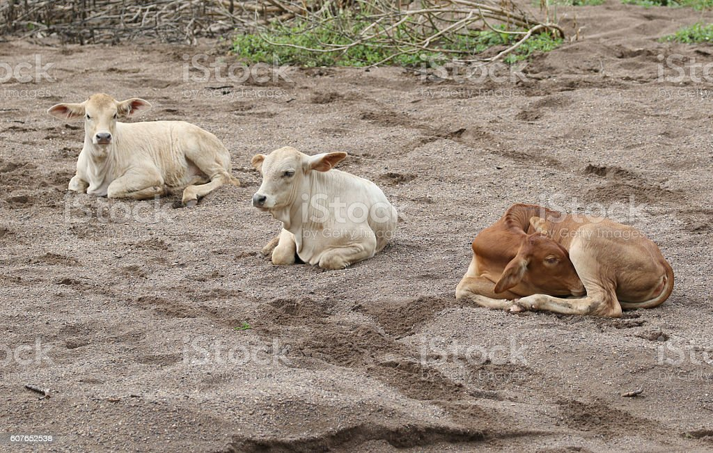 Image of a cow on sand background. stock photo