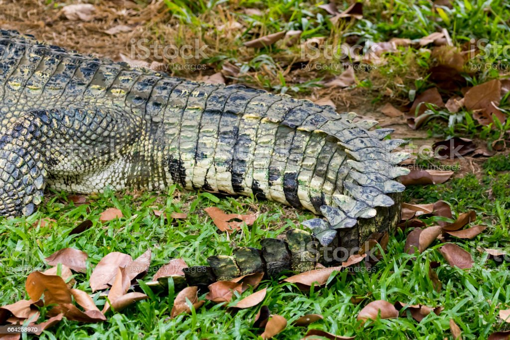 Image of a crocodile tail on the grass. Reptile Animals. stock photo