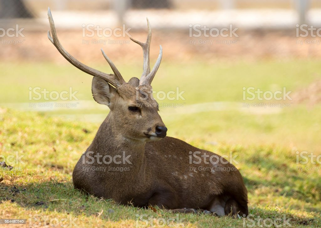 Image of a deer relax on nature background. Wild Animals. stock photo
