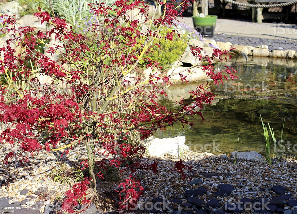 image of a garden fish pond and red Japanese maple royalty-free stock photo