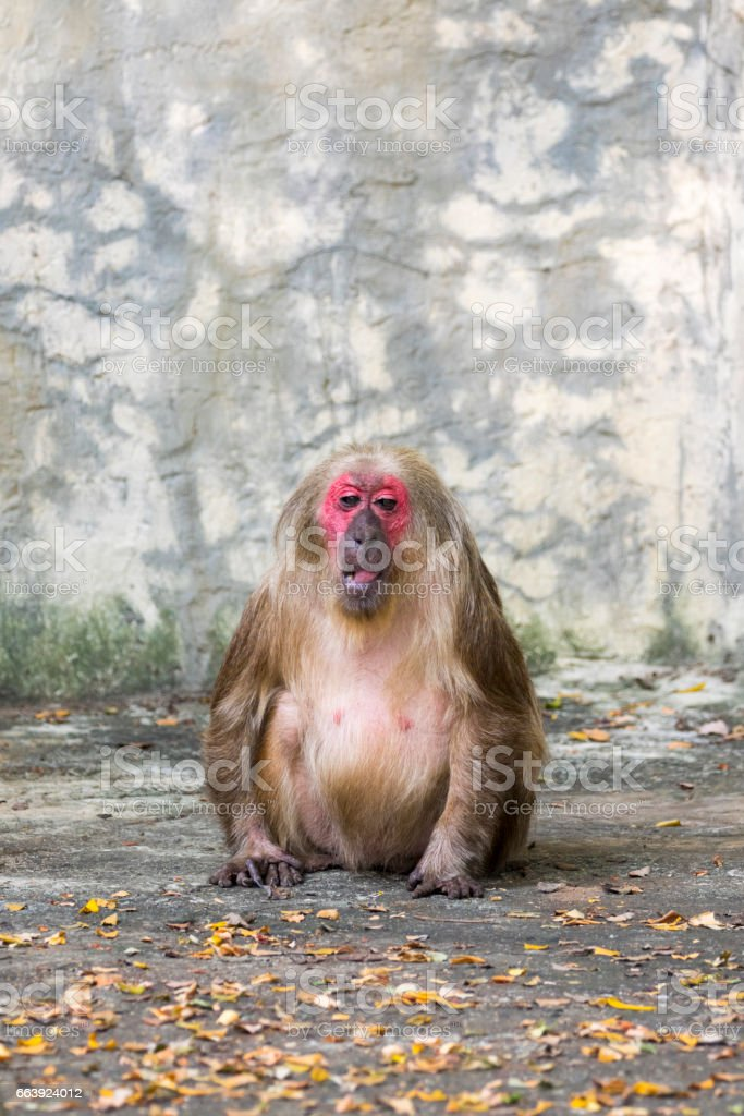 Image of a monkey on nature background. Wild Animals. (Stump-tailed macaque) stock photo