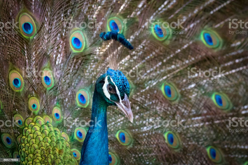Image of a peacock showing its beautiful feathers. wild animals. stock photo