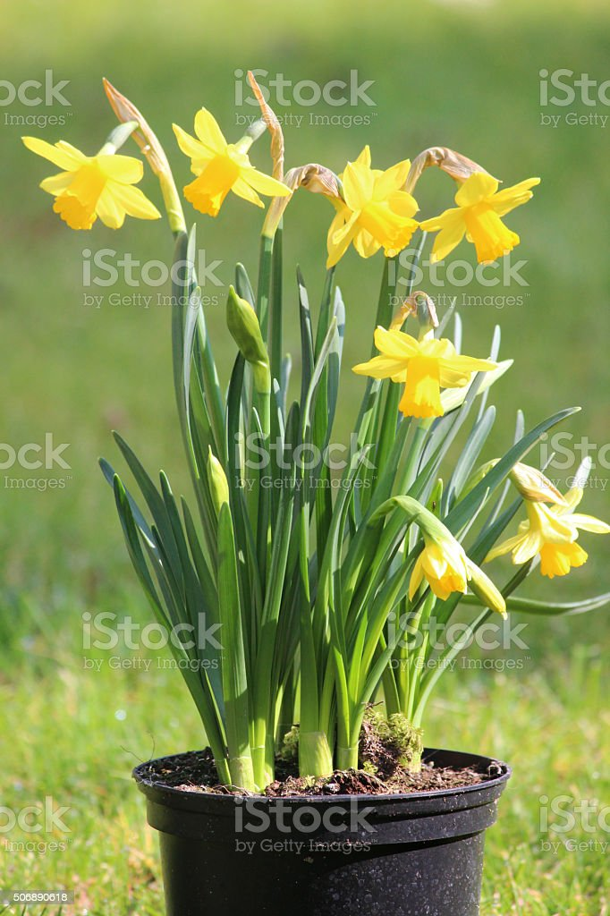 Image of a plant pot of bright yellow daffodils (narcissus) stock photo