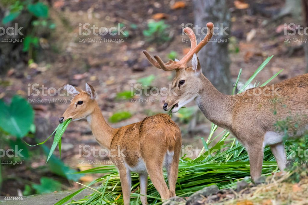 Image of a sambar deer munching grass in the forest. stock photo
