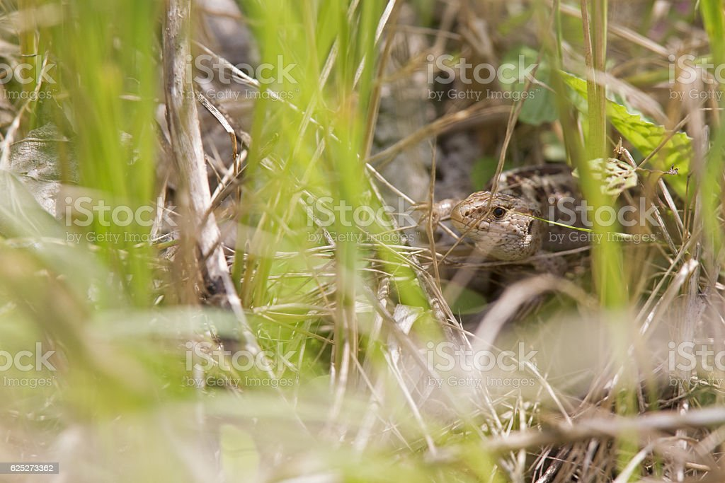 Image of a Sand Lizard hiding between the plants. stock photo